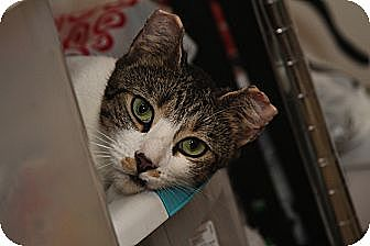 Domestic Shorthair Cat for adoption in New York, New York - Lady Mary