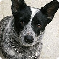 Adopt A Pet :: Roxie~Prison Obedience Traine - Hazard, KY