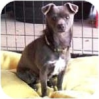 Adopt A Pet :: MIGHTY MOUSE - Gilbert, AZ