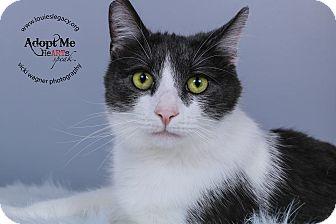 Domestic Mediumhair Cat for adoption in Cincinnati, Ohio - Brother- WAIVED FEE