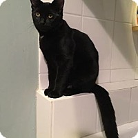 Domestic Shorthair Kitten for adoption in Chicago, Illinois - Miguel