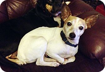 Rat Terrier Mix Dog for adoption in Hillsboro, Illinois - Emma- ADOPTION PENDING!