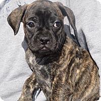 Adopt A Pet :: PENNY - Cranston, RI