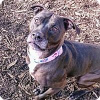 Labrador Retriever/American Pit Bull Terrier Mix Dog for adoption in South Park, Pennsylvania - Selina