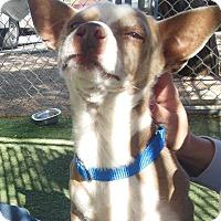 Adopt A Pet :: Rio - Phoenix, AZ