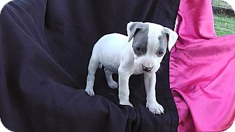 Pit Bull Terrier Mix Puppy for adoption in Salem, Oregon - Gracie