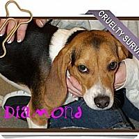 Adopt A Pet :: Diamond - Portland, OR