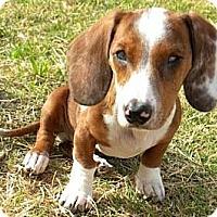 Adopt A Pet :: Happy - Gilbert, AZ