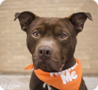 Pit Bull Terrier Mix Dog for adoption in Charlotte, North Carolina - Drake