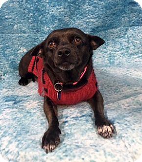 Chihuahua Mix Dog for adoption in Lake Elsinore, California - Maya