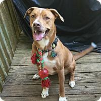 Adopt A Pet :: Bo - Marietta, GA
