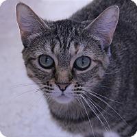 Adopt A Pet :: Tigress - O Fallon, IL