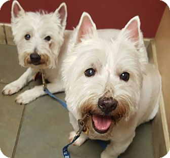 Westie, West Highland White Terrier Dog for adoption in Frisco, Texas - CRASH AND ROWDY- ARE ADOPTED