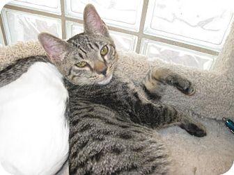 Domestic Shorthair Kitten for adoption in Westminster, California - Stewart