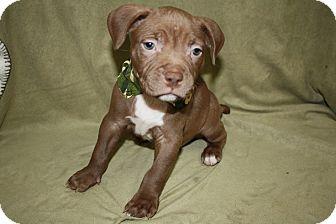 Pit Bull Terrier Puppy for adoption in Tehachapi, California - Doc