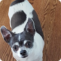 Chihuahua Dog for adoption in Dayton, Ohio - Joey - Eau Claire, WI