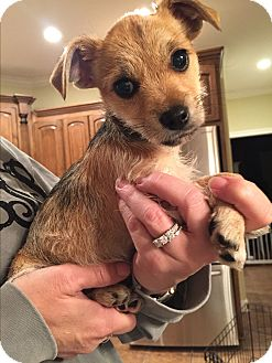 Jack Russell Terrier Mix Puppy for adoption in Glastonbury, Connecticut - Millie~adopted!