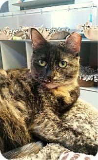 Domestic Shorthair Cat for adoption in Sarasota, Florida - Azalea