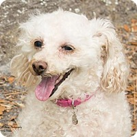 Poodle (Miniature) Dog for adoption in Tampa, Florida - April