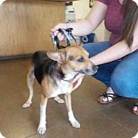 Adopt A Pet :: LITTLE BIT - Temple, TX