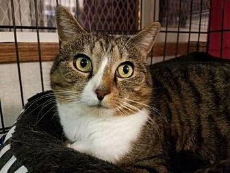 Domestic Shorthair Cat for adoption in Plainville, Massachusetts - Pride