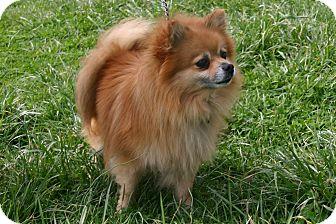Pomeranian Mix Dog for adoption in Waldorf, Maryland - Jessup