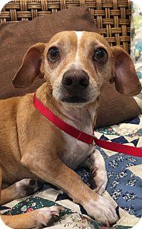 Beagle/Rat Terrier Mix Dog for adoption in Santa Ana, California - Garbo