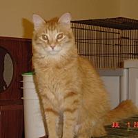 Domestic Mediumhair Cat for adoption in Houston, Texas - Tator Tot