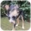 Photo 4 - Yorkie, Yorkshire Terrier/Border Terrier Mix Dog for adoption in Lodi, California - Elliot