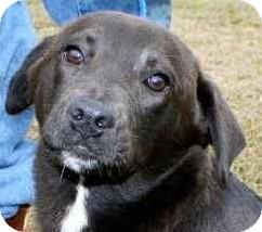 Labrador Retriever/Border Collie Mix Puppy for adoption in Gainesville, Florida - Cinderella