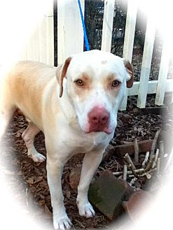 Labrador Retriever Mix Dog for adoption in Newtown, Connecticut - Chance
