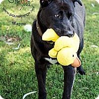 Adopt A Pet :: Wayne - Gilbert, AZ