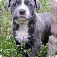 Adopt A Pet :: Baby Blue - Killen, AL