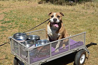 American Bulldog Mix Dog for adoption in Acton, California - Ross