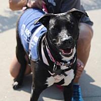 Labrador Retriever/Retriever (Unknown Type) Mix Dog for adoption in Lebanon, Connecticut - Leela