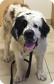 St. Bernard Dog for adoption in Denver, Colorado - Papa Pia