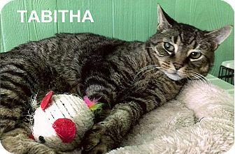 Domestic Shorthair Cat for adoption in Medway, Massachusetts - Tabitha