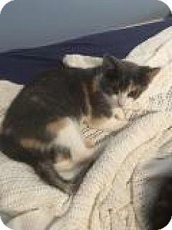 Calico Kitten for adoption in Shelbyville, Kentucky - Leighann