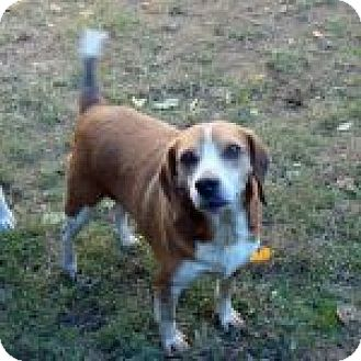 Beagle Mix Dog for adoption in Dumfries, Virginia - Zeus