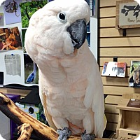 Cockatoo for adoption in Lexington, Kentucky - Woody