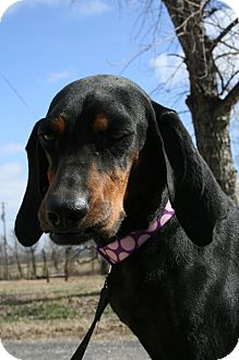 Black and Tan Coonhound Mix Dog for adoption in Glastonbury, Connecticut - Lizzie~adopted!!