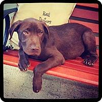 Adopt A Pet :: Gauge - Grand Bay, AL