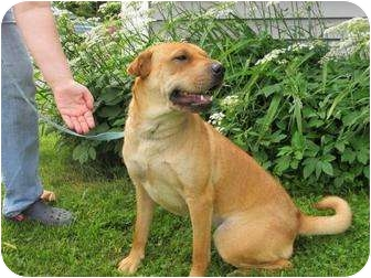 Shar Pei/Labrador Retriever Mix Dog for adoption in Newport, Vermont - Sheena
