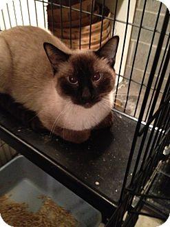 Siamese Cat for adoption in Wenatchee, Washington - Hop