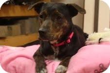 Plott Hound/Greyhound Mix Dog for adoption in Marietta, Georgia - Bryleigh