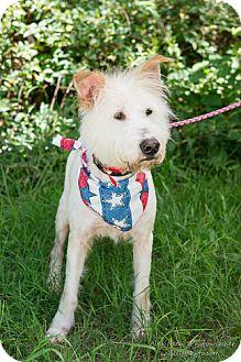 Wirehaired Fox Terrier Mix Dog for adoption in Marietta, Georgia - Oscar