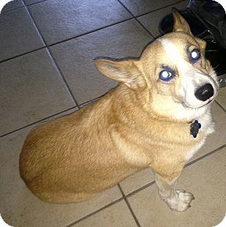Pembroke Welsh Corgi Dog for adoption in Dallas, Texas - Wally