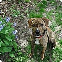 Adopt A Pet :: Moose - Minneapolis, MN