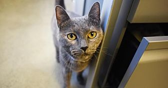 Domestic Shorthair Cat for adoption in New York, New York - Susie
