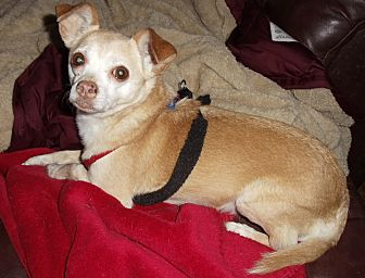 Chihuahua Mix Dog for adoption in Florissant, Colorado - Tucker